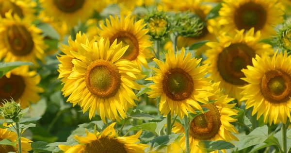 Sonnenlbume; Agrar Mantler; Bio; biologisch; Mantlerhof; Landwirtschaft; Sunflower